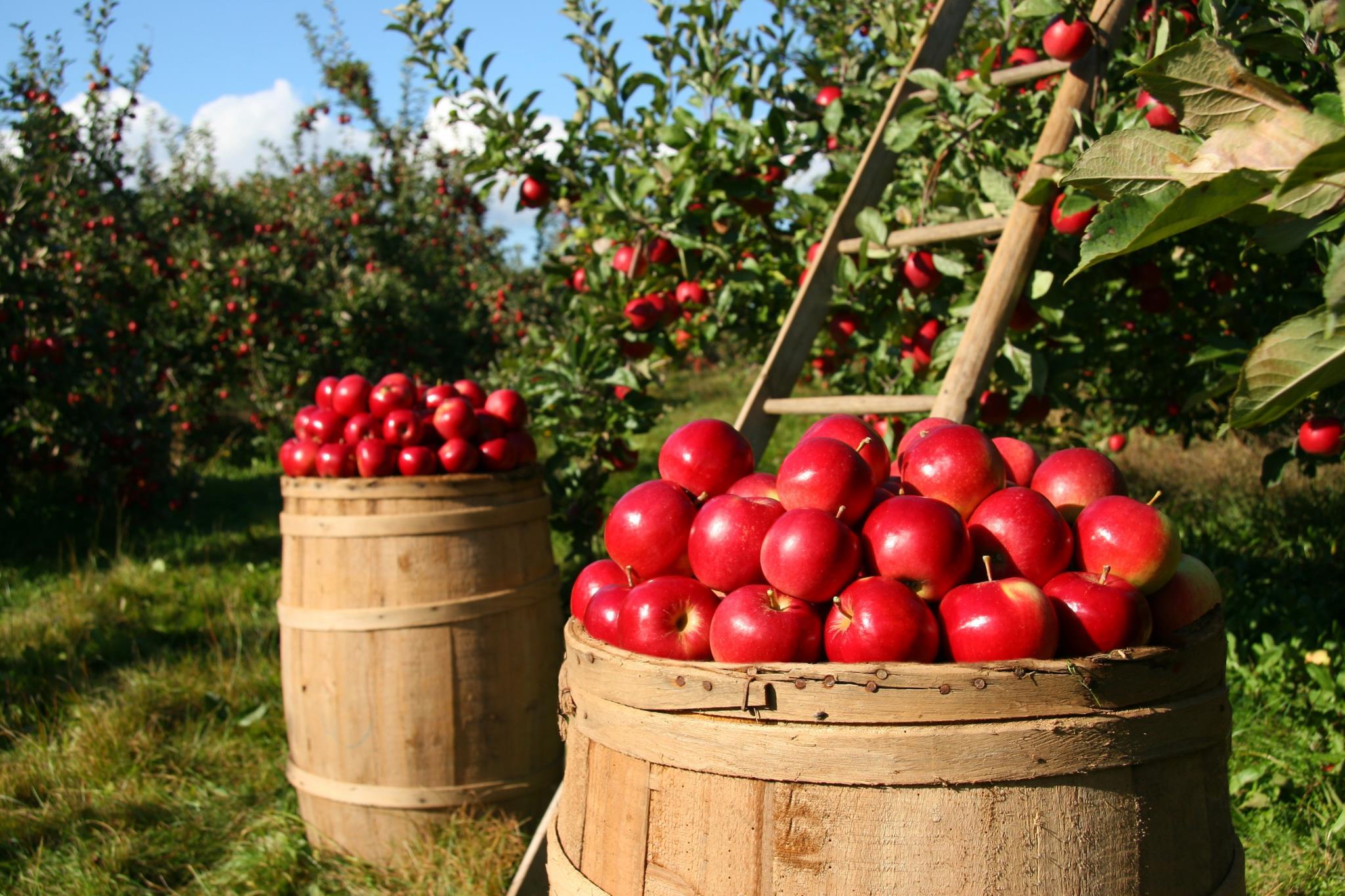 Мировое производство яблок